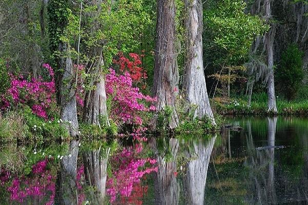 Magnolia in South Carolina